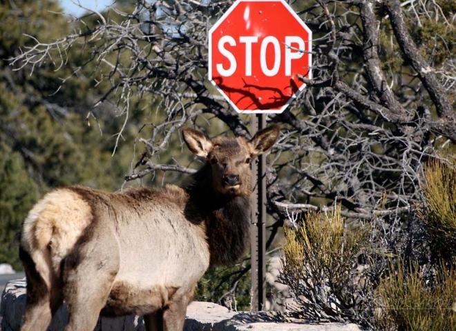 Cerf hémione, stop au brame – Arizona