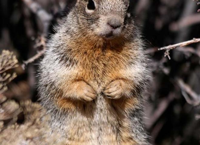 Ecureuil des rochers (Spermophilus variegatus) – Arizona