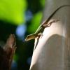 Geckos – Jamaïque