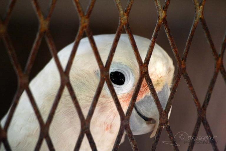 Perroquet, ouvrez la cage – Jamaïque