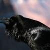 Grand Corbeau (Corvus corax) – Arizona