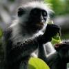 Zanzibar red colobus 5 / 5