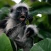Zanzibar red colobus 3 / 5