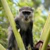 Zanzibar Sykes' monkey (Cercopithecus albogularis) – Tanzanie