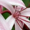 Lys (Crinum asiaticum) – Laos