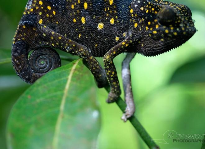 Humeur en couleur, Chamaeleonidae – Tanzanie
