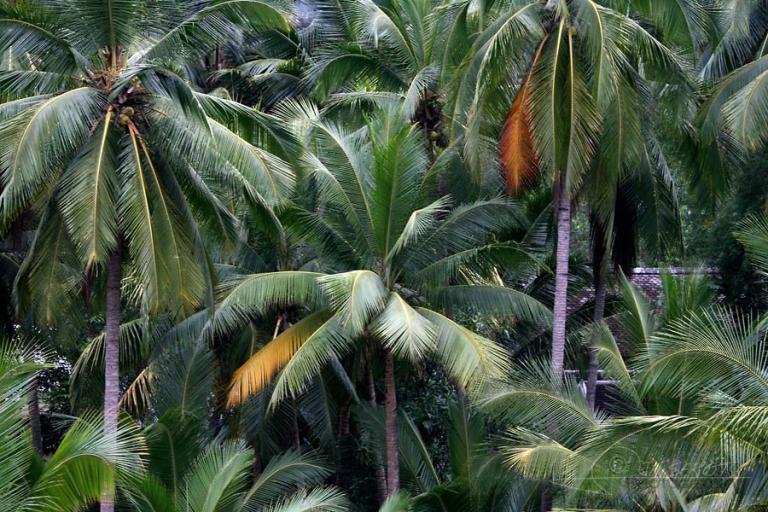 Cocotier (Cocos nucifera) – Laos