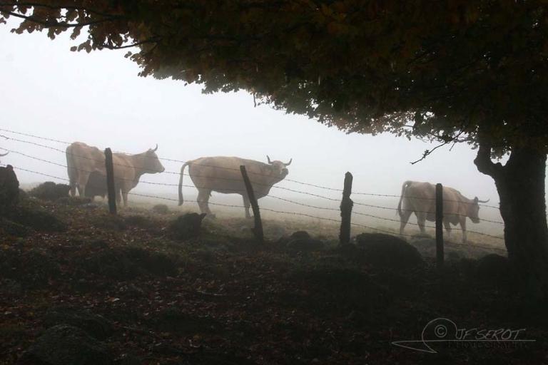 Aubrac, une région, une race bovine / France