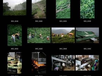 Rajah et Makaibari  : Un thé au goût éthique et écologique