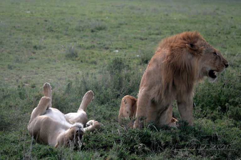 Accouplement sauvage / Tanzanie