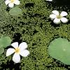 Prière florale / Cambodge