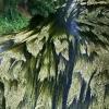 Renoncule aquatique (Ranunculus aquatilis) – France