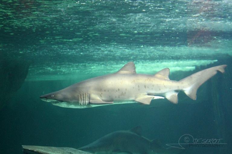 Requin-taureau (Odontaspis taurus), océarium du Croisic – France