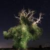 Châtaignier nocturne – France