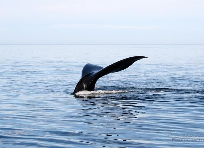 Baleine franche australe 4 / 5