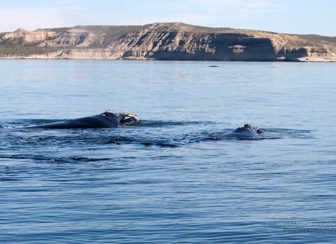 Baleine franche australe 2 / 5