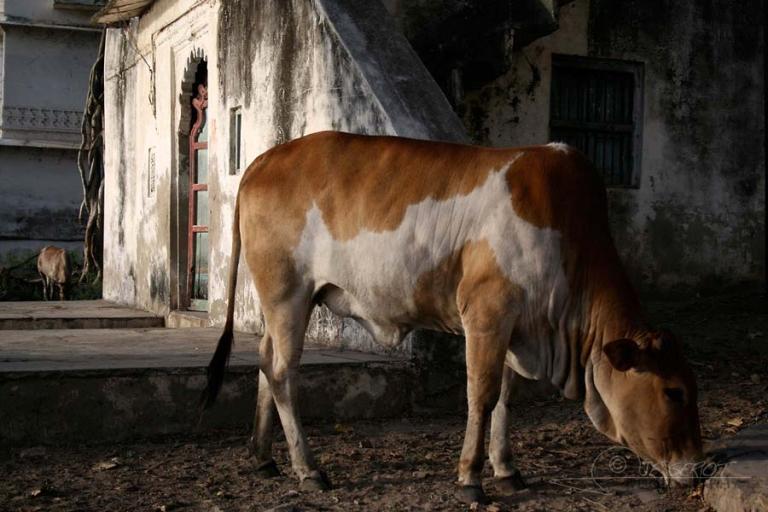 Vache sacrée – Inde