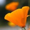 Pavot de Californie (Eschscholzia californica) – France