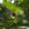 Moineau friquet (Passer montanus) – Portugal