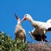 Couple de Cigognes blanches au nid – Maroc