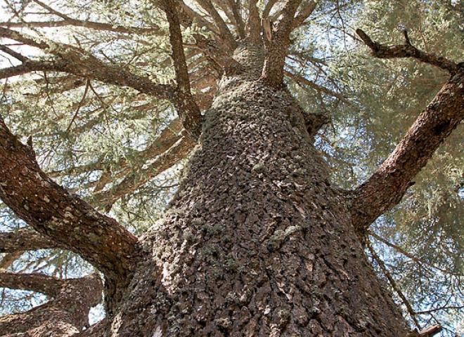 Cédre, Parc national d'Ifrane – Maroc