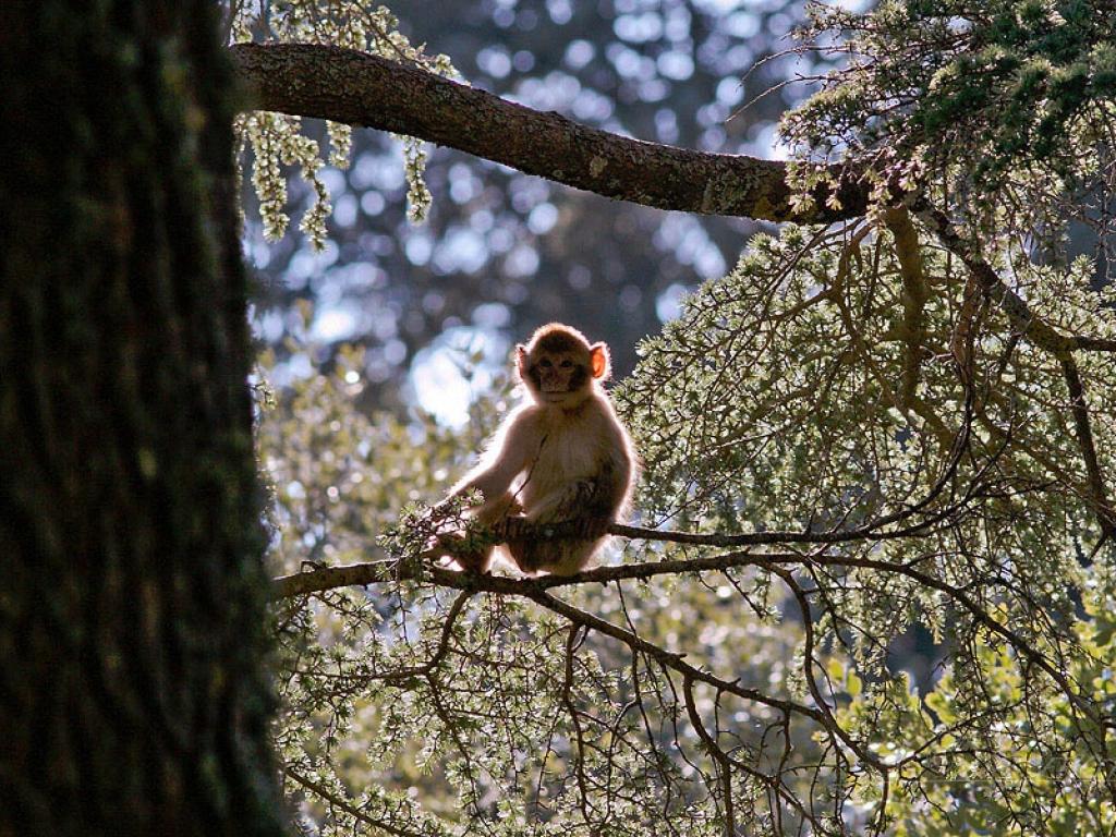Macaque de Barbarie (Macaca sylvanus) – Maroc