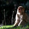 Bâillement de macaque – Maroc