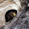 Nid du Frelon européen (Vespa crabro) – France