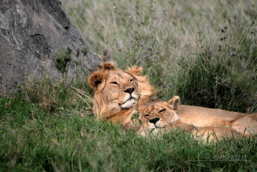 Lion d'Afrique 5 / 5