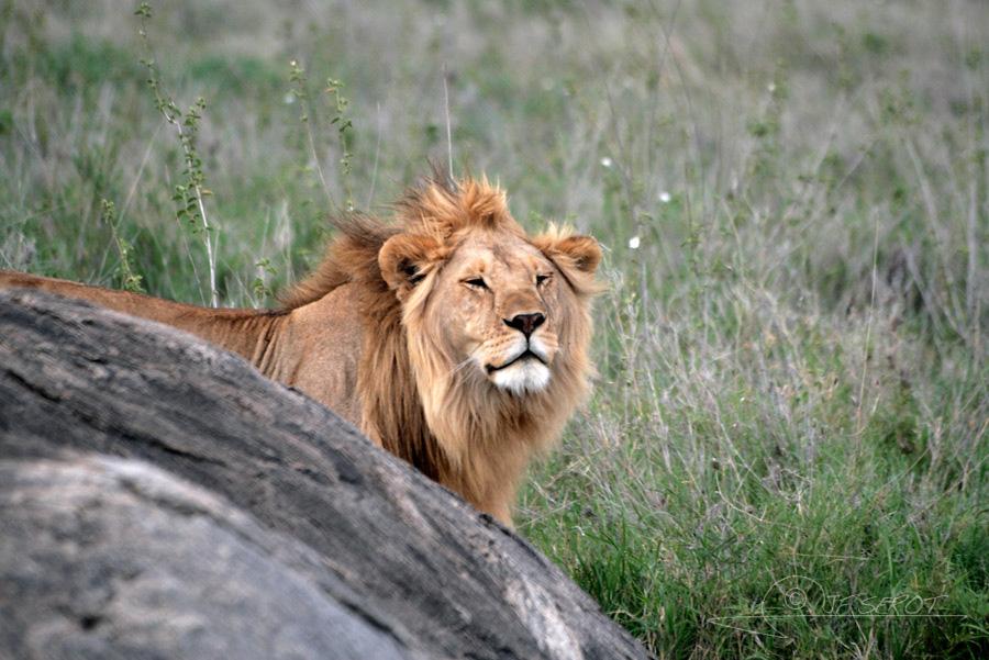 Lion d'Afrique 1 / 5