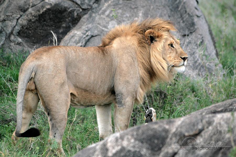 Lion d'Afrique 4 / 5