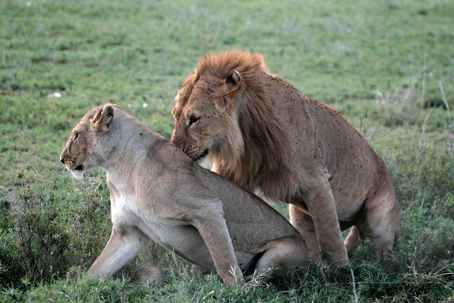 Lion d'Afrique 2 / 5