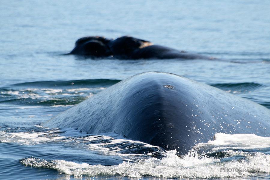 Baleine franche australe 3 / 5