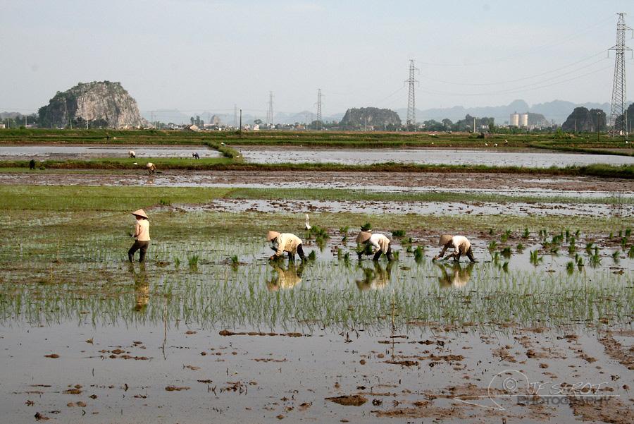 Plantation du riz 1 / 5