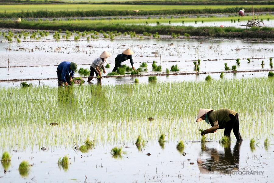 Plantation du riz 4 / 5