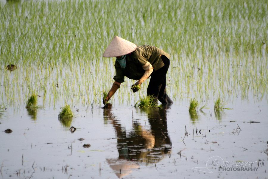 Plantation du riz 5 / 5