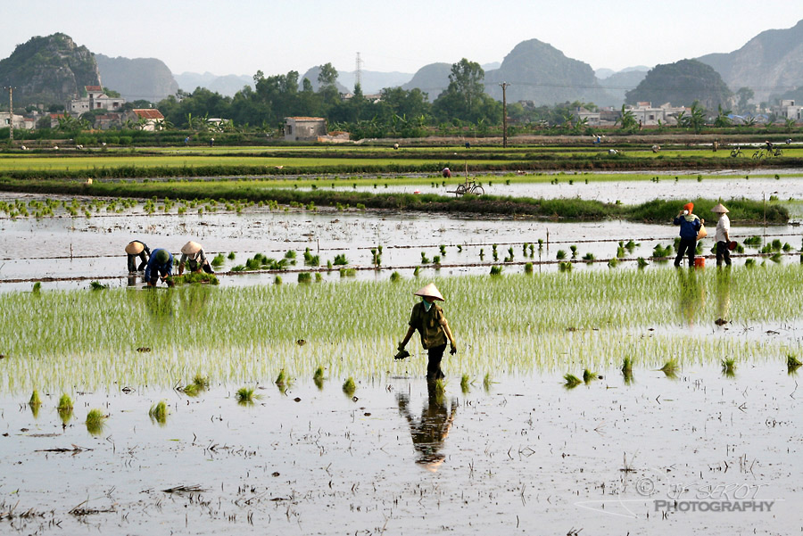 Plantation du riz 2 / 5