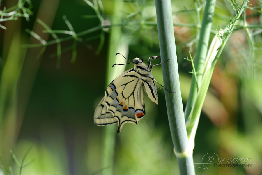Machaon 1 / 5