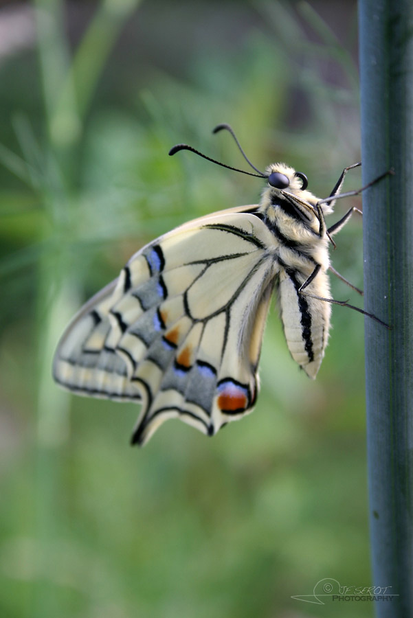 Machaon 2 / 5