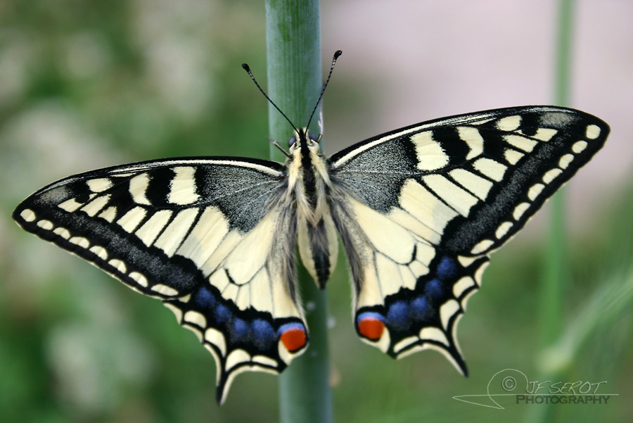 Machaon 4 / 5