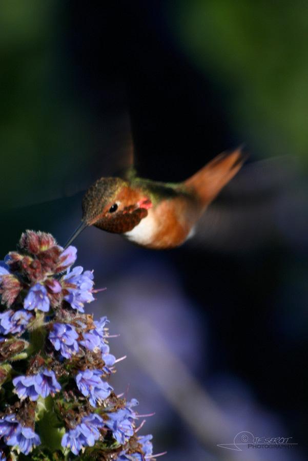 Allen's Hummingbird 4 / 5