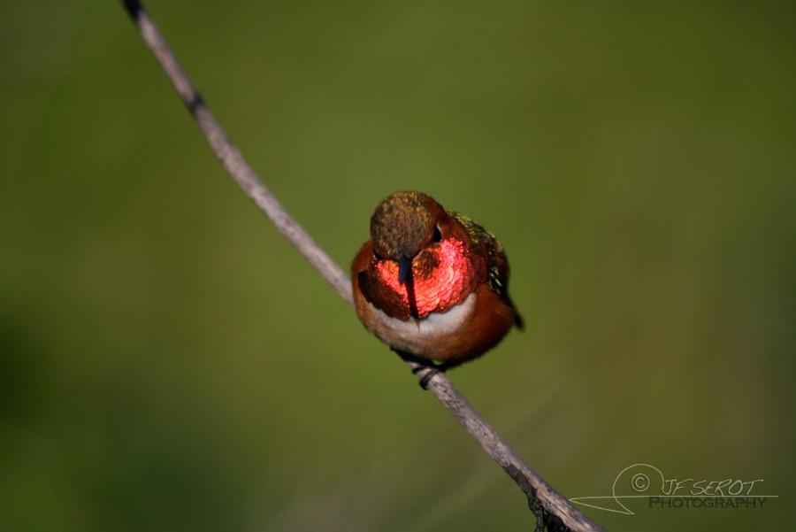 Allen's Hummingbird 5 / 5