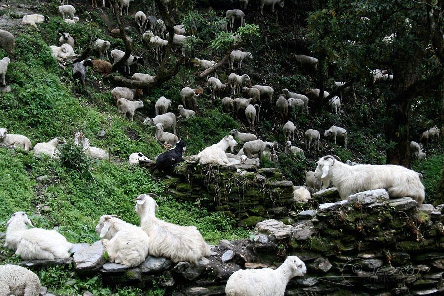 Chèvres népalaises 2 / 5