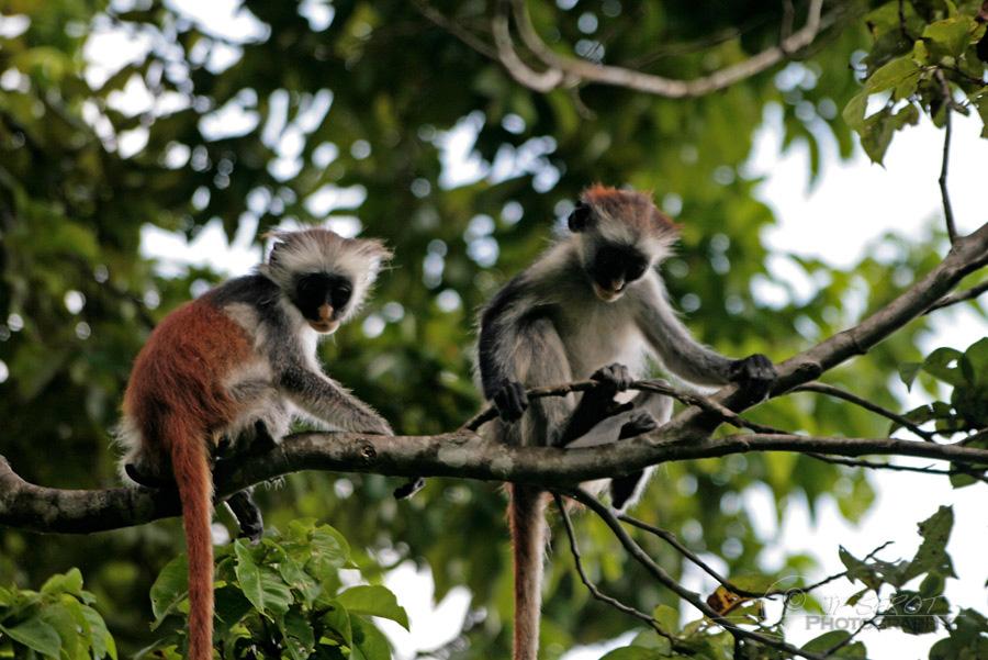 Zanzibar red colobus 2 / 5