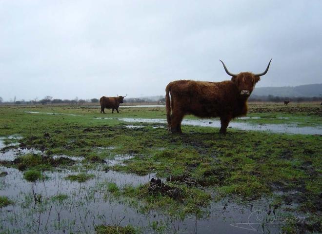 Highland Cattle – France