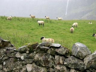 Scottish Blackface – Ecosse