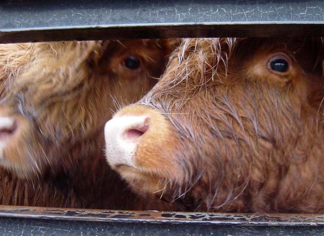 Highland Cattle 4 / 5