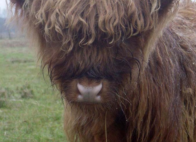 Highland Cattle 3 / 5