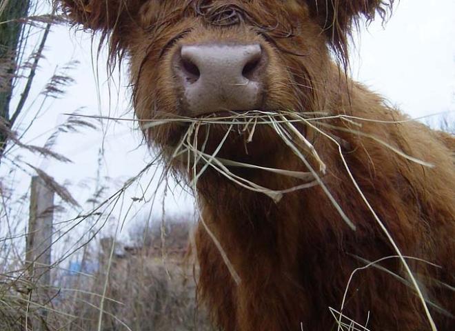 Highland Cattle 2 / 5