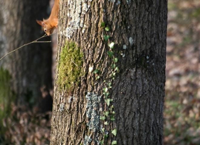 Ecureuil roux (Sciurus vulgaris) – France